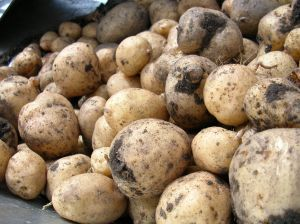 Potatoes from the field