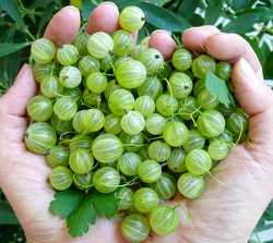 gooseberries1-250.jpg