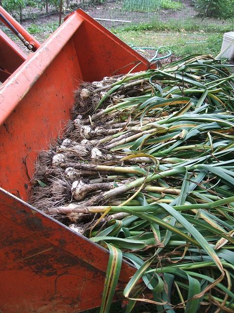 garlic11.jpg